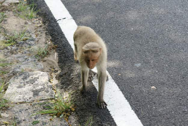 Opportunistic monkey steals bus and crashes in India