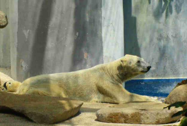 Singapore holds birthday party for lone polar bear