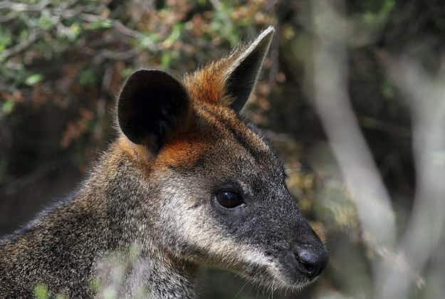 Swamp wallaby rescued 1km off NSW coast by students