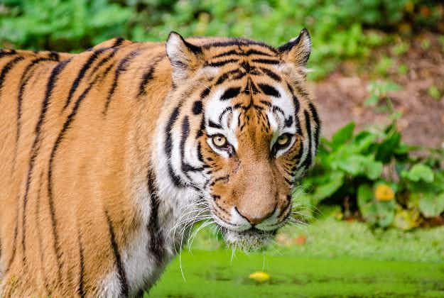 Wild tiger numbers increase globally for first time in a century