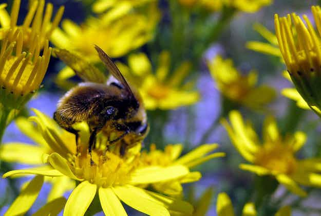 Decline in US bees linked to biofuel production, study says