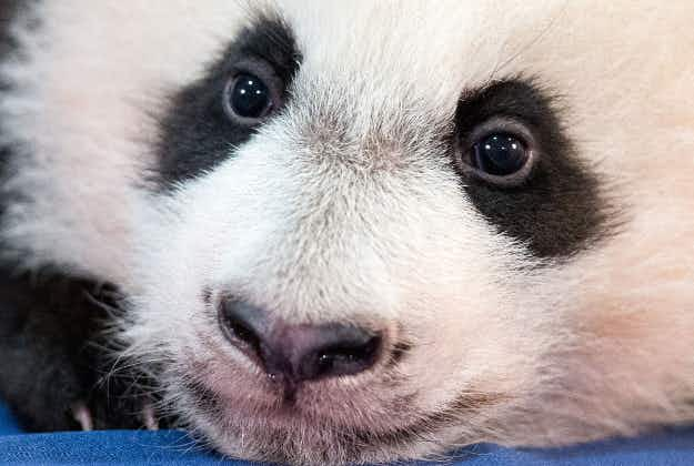 Hello world zzzzz: giant panda cub Bei Bei dozes off during photo shoot