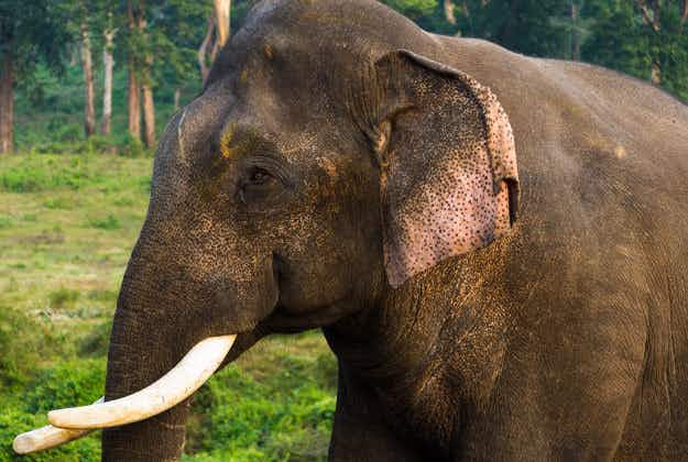 Supreme Court of India agrees to look into elephant abuse allegations