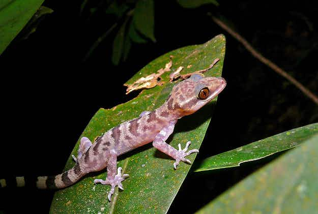 Thailand moves to make geckos protected species