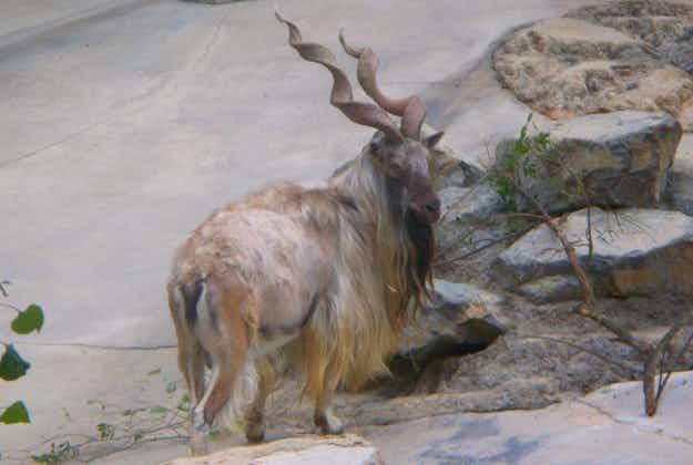 Rare wild goat trophies seized on Swiss border