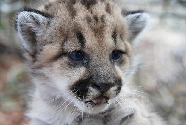 Rare mountain lion kitten spotted outside LA