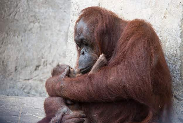 Florida Zoo welcomes endangered orangutan baby