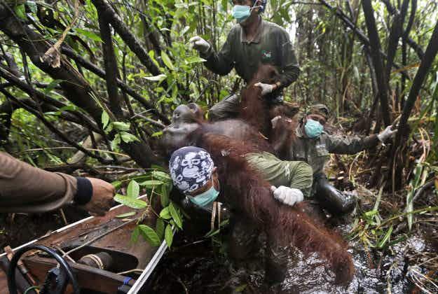 Rescue in Borneo: orangutans saved and moved