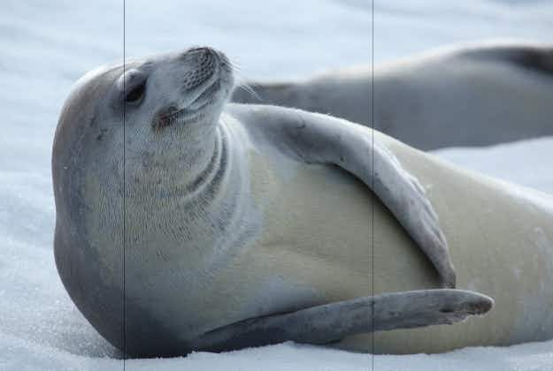 Crabeater seal roams far from Antarctica to visit Aussie beach