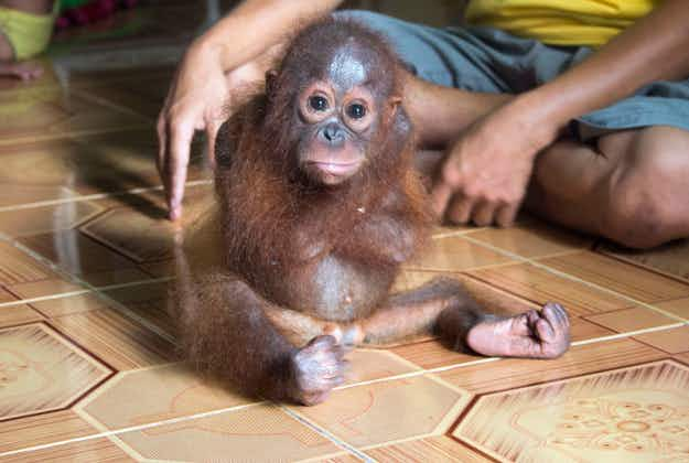 Heart-melting image released of orphaned baby orangutan rescued in Borneo