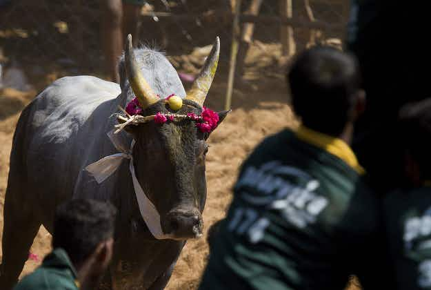 Bull-fighting with a difference approved in Tamil Nadu