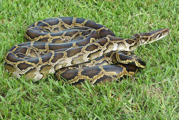 Everglades snake hunt to cull Burmese python population