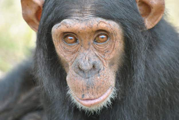 Walk on the wild side: chimp escapes SA zoo for a stroll