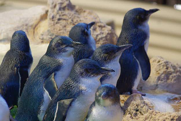 Sick and injured penguin centre in South Australia to close