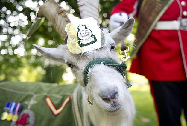 Royal Welsh goat to guard Queen of England