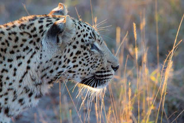 Ban on leopard hunting imposed by South Africa
