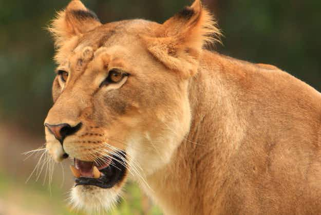 Pet lion goes walkies around Dubai neighbourhood