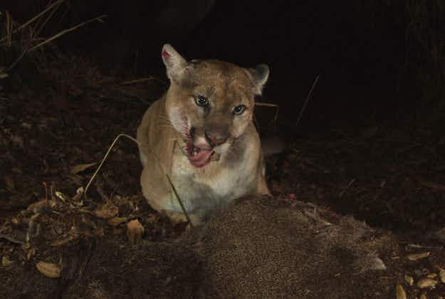 Famous Hollywood mountain lion makes a comeback