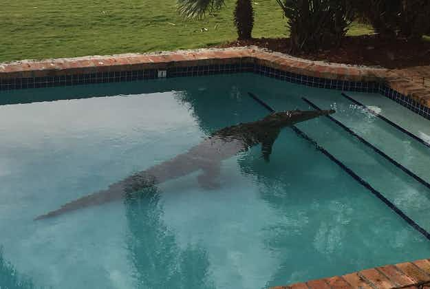 Florida homeowner finds crocodile swimming in his pool