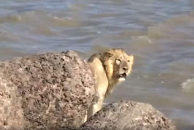 Lion evades onlookers by jumping into Arabian Sea