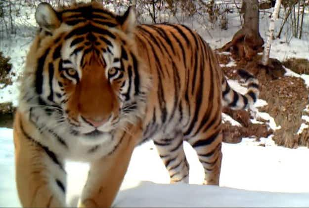Rare wild Amur tiger caught on video in China
