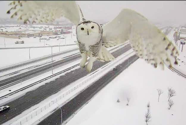 Snowy owl pic on Montreal traffic cam goes viral