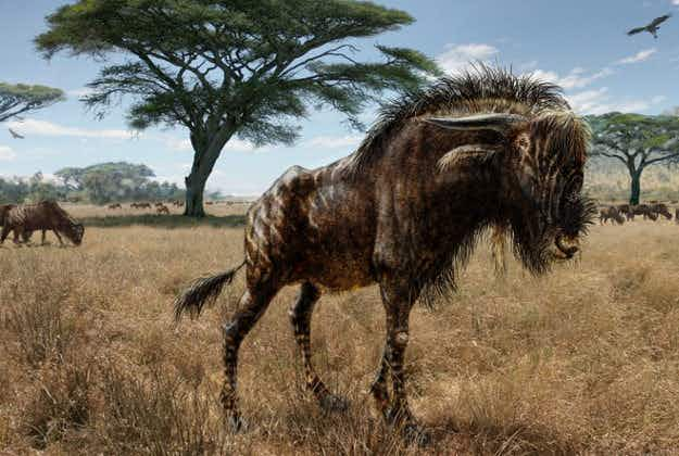 Ancient wildebeest used nose trumpet to keep herd in order