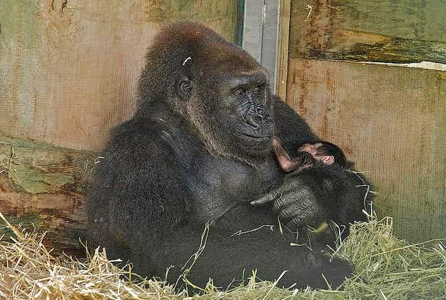 Baby gorilla doing well after extraordinary delivery at Bristol zoo