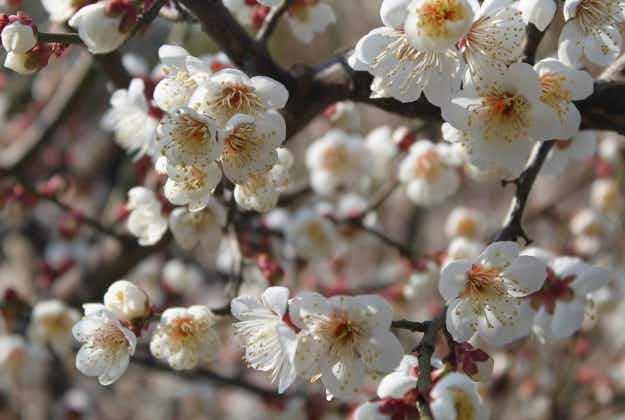 Plum trees in bloom for Shanghai's annual blossom festival