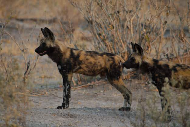 Namibia to add wild dogs to protected species list