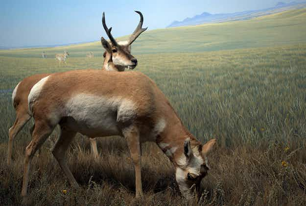 Pronghorn antelope return to Washington habitat
