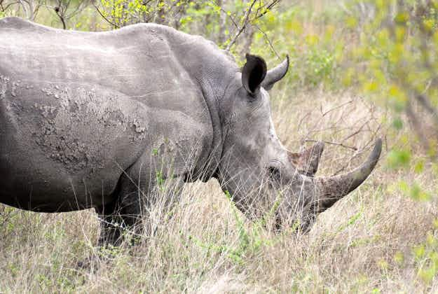Rangers use tracking devices to protect rhinos in Kruger