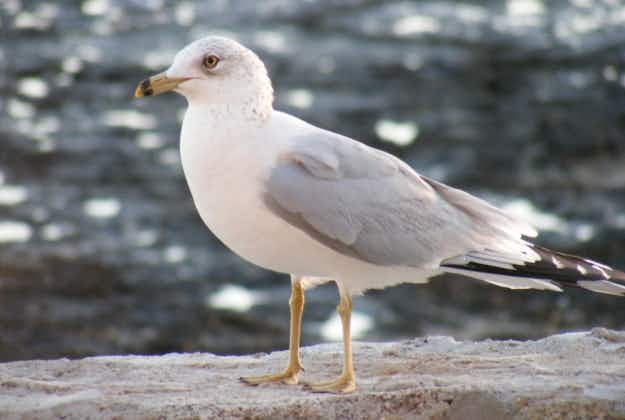 Cull approved to combat Aarhus seagull problem