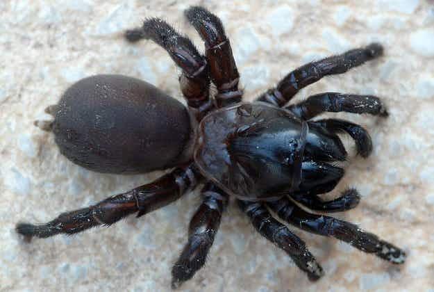 New spider species named after Johnny Cash