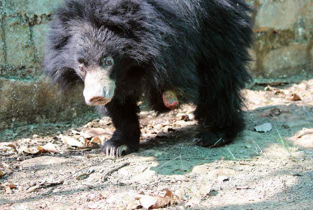 Bear cub with severed paw rescued from Indian forest