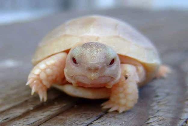 Rare albino green turtle found on Australia's Sunshine Coast