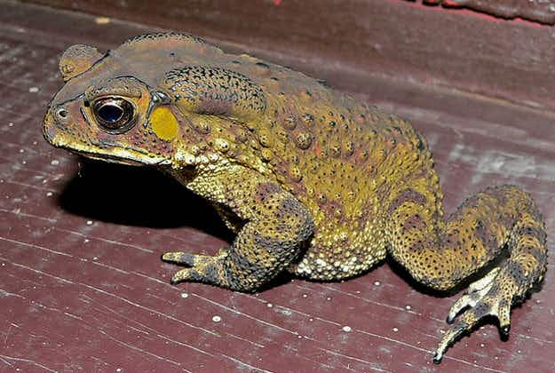 Madagascar wrestles with 4m toxic toads wreaking havoc