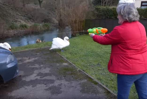 Water guns at the ready for Cotswolds swan wars