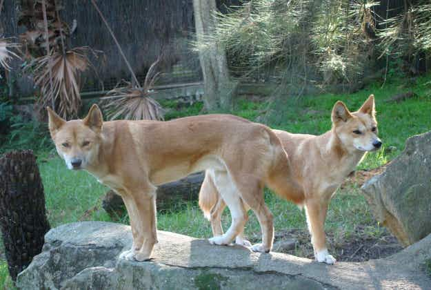 Dingoes go on forest patrol to ward off feral cats