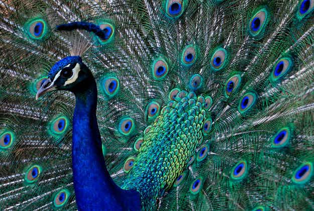 Tragedy of peacocks shocked to death by tourists in Chinese zoo