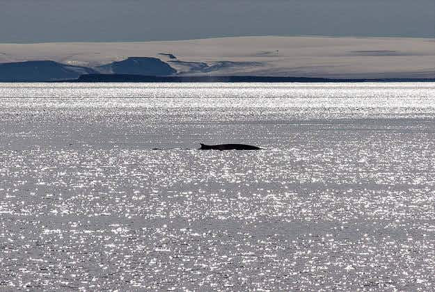 Fin whales won't be hunted in Iceland this summer