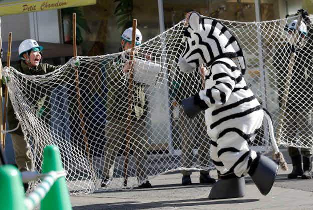 Fake zebra escapes in Tokyo zoo drill