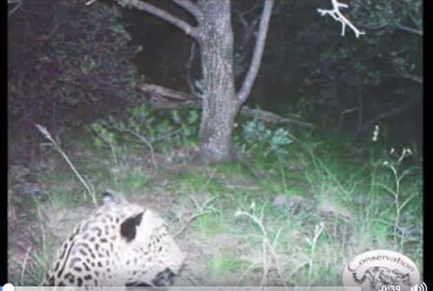Rare sighting of last known jaguar in USA captured