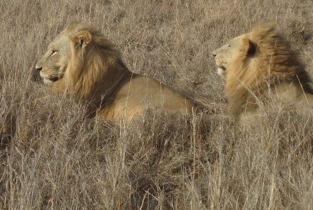 Africa's lion population could quadruple with international funding say experts