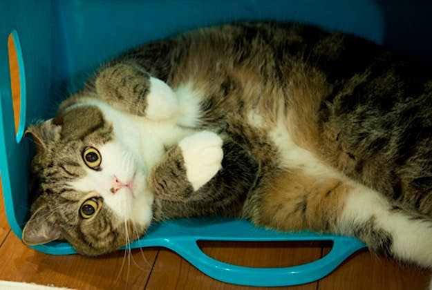 Maru, Japan's most famous cat.