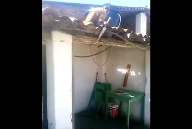Drunken monkey chases bar customers with a knife in Brazil