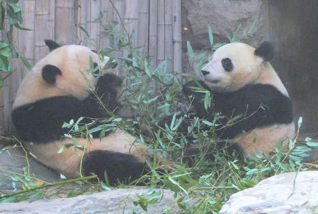 Tokyo zoo gives bashful pandas some private time