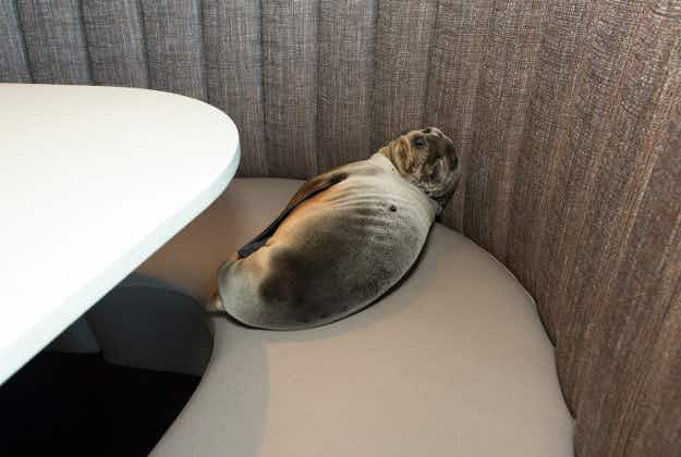Sea lion rescued from San Diego restaurant