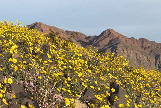 Super bloom set to fill Death Valley with flowers