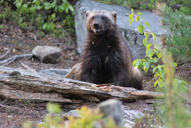Wolverines could be used for avalanche search and rescue in Alaska